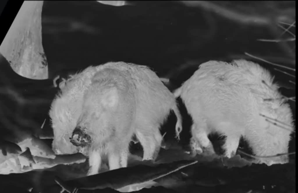 Thermal Image of Boars